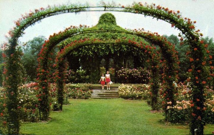 Crimson Ramblers on Rose Arches, Elizabeth Park