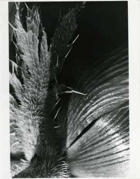 Poppy, gelatin silver print on paper, Rosalie Thorne McKenna, 1973, Gift of the Rosalie Thorne McKenna Foundation, © The Rosalie Thorne McKenna Foundation, CHS collection