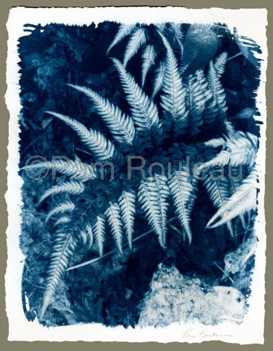 Athyrium niponicum, Pam Rouleau.