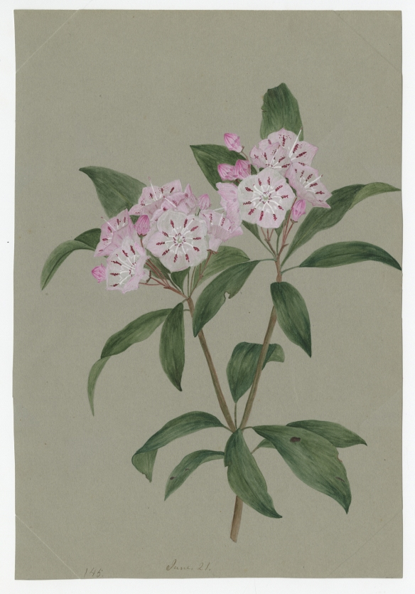 Sill_Mountain_Laurel